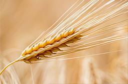 barley dermiveil
