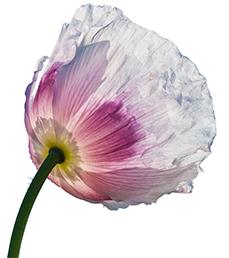 virgin poppy seed oil