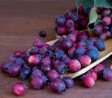 saskatoon berry ProTec Ingredia
